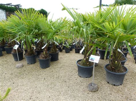 trachycarpus fortunei palmier rustique palmier chanvre palmier de chine p 233 pini 232 re en ligne