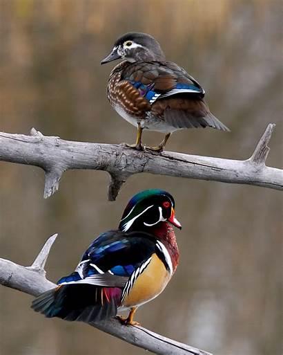 Wood Duck Birds Ducks Migratory Convention Centennial