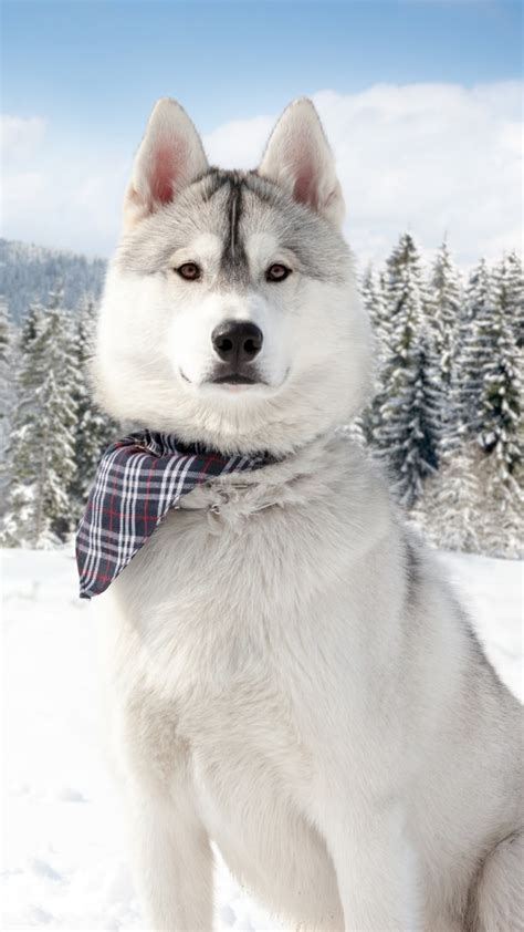 wallpaper huskies dog puppy snow forest winter white