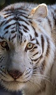 White Tiger HD Wallpaper   Background Image   3000x2000