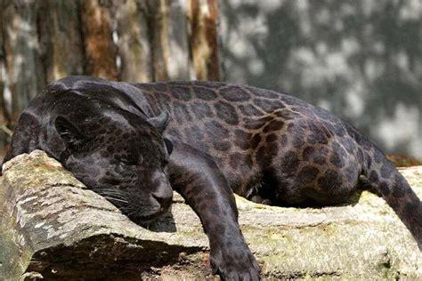 Black Jaguar Habitat by The Spots On A Black Jaguar Are Awesome Pics