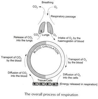 human respiratory system and it s mechanism with diagram