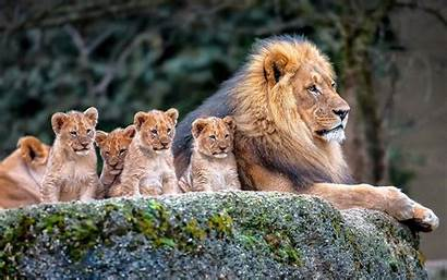 Resolution Lion Background Widescreen Wallpapers13
