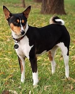 Basenji Dog - Breed Information