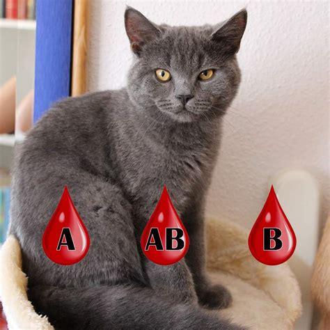 Katzen Halten Ausstattung by Blutgruppen Bei Katzenzucht Wichtig Bei Britisch
