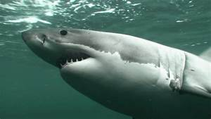 White sharks | NIWA