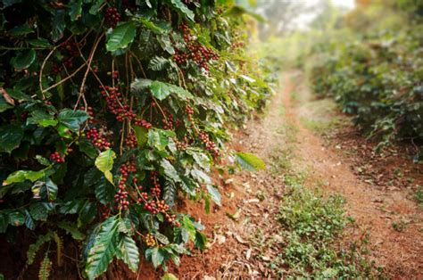 1,941 likes · 83 talking about this · 1,510 were here. Coffee tree with fresh arabica coffee bean   Premium Photo