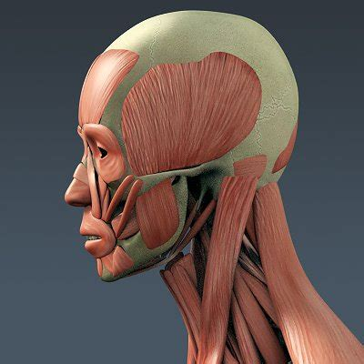human male body muscular digestive system  skeleton