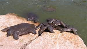 Soft Shell River Turtle