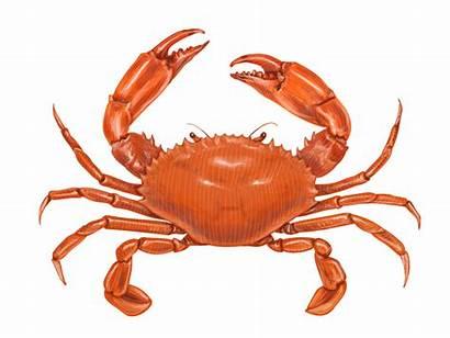Crab Natalka Moving Vector Cartoon Dmitrova Seafood