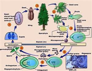 Biology  U2013 Gymnosperms