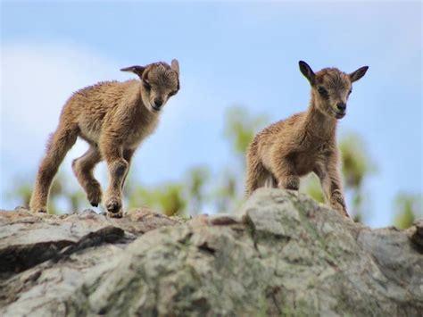 markhor goats zoo baby capra stone falconeri