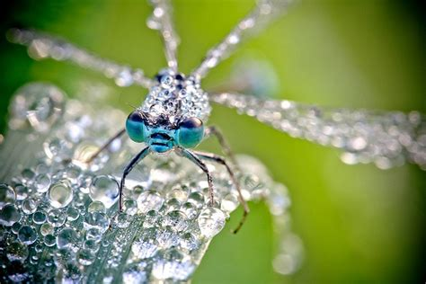 Macro Photos Of Dew Covered Insects By David Chambo
