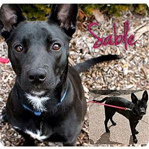 Sable | Adopted Dog | Garden City, MI | German Shepherd ...