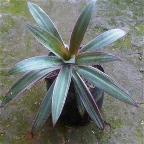 tanaman nanas kerang rhoeo discolor bibitbungacom