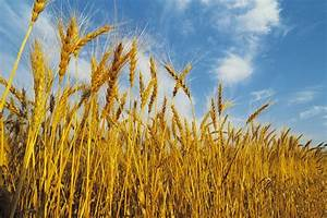 High wheat prices mean more winter wheat planting in Idaho ...
