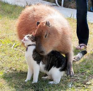Capybara and Cat