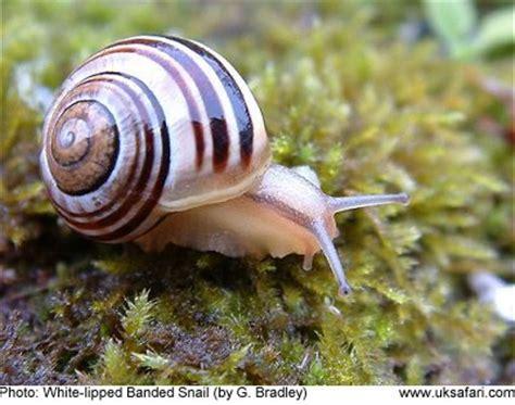 banded snails cepaea nemoralis cepaea hortensis uk