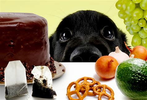 table food for dogs toxic dog foods what you should not feed your retriever