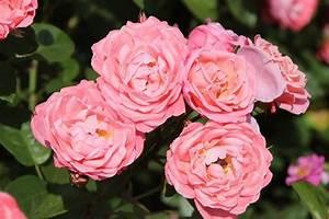 Www Mein Schöner Garten : rose mein sch ner garten rosa mein sch ner garten g nstig online kaufen ~ Frokenaadalensverden.com Haus und Dekorationen
