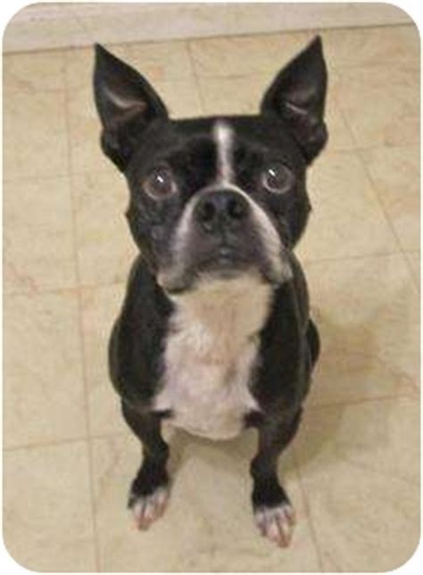 Adoption Voo The Boston Terrier In Maryland Needs A Home
