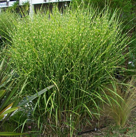 grasses landscaping the best ornamental grasses to grow in your garden grasses landscaping and gardens