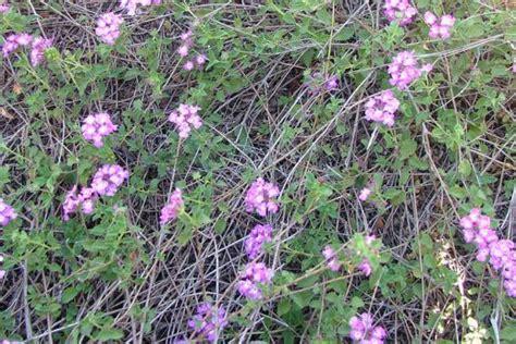 creeping lantana weed identification brisbane city council