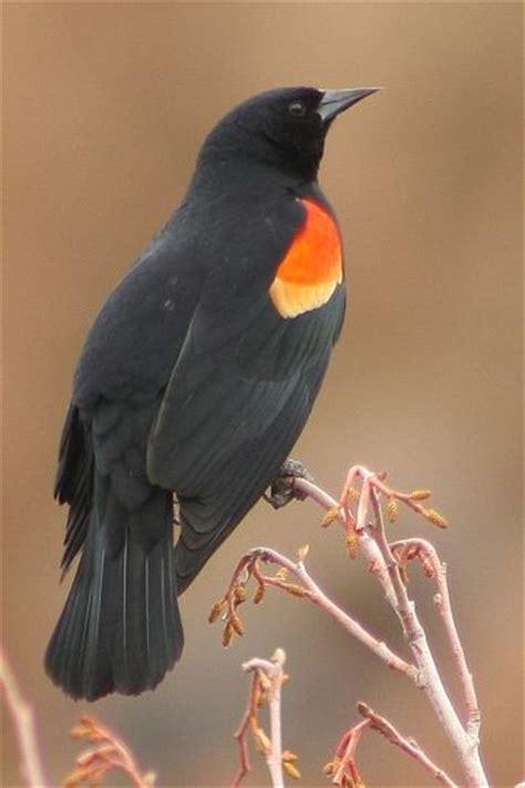 central oregon wild birds and blackbird on pinterest