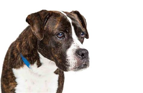Pitbull Boxer Mix [all You Need To Know About Bullboxers]
