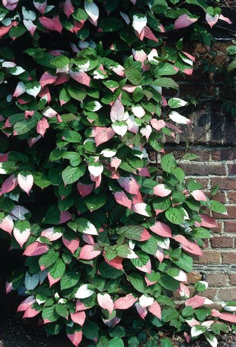 Best 25+ Climbing Hydrangea Ideas On Pinterest Climbing