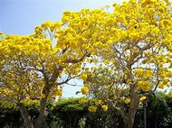 Best 25 ideas about flowering trees find what youll love florida flowering trees with yellow flowers mightylinksfo