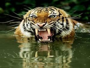 Bengal Tiger Attack Bengal Tiger Attack Elephant, tuscan ...