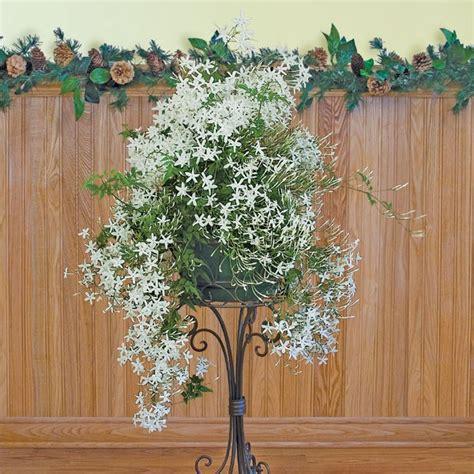 jasminum polyanthum en pot jasminum polyanthum en pot 28 images plantation et entretien du d 233 tente jardin blanc d
