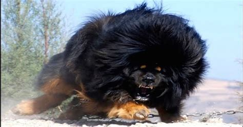 Top 10 Worlds Most Expensive Dog Breeds For 2016 The Dog