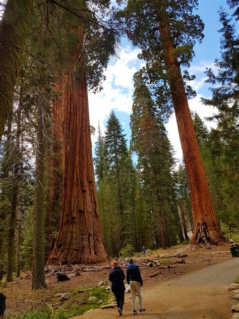 worlds largest living organisms  giant sequoia