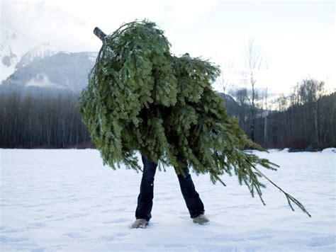 cut down christmas tree madinbelgrade