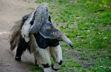 Giant anteater +baby by Leoric777 on DeviantArt