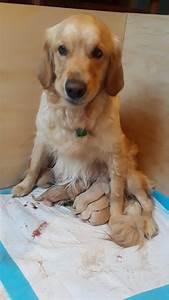golden retriever puppies for sale carolina ca