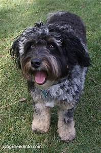 Aussiedoodle Dog Breed Information and Pictures