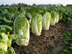 Pak Choi Anbau : top 10 healthiest vegetables in the world youtube ~ Eleganceandgraceweddings.com Haus und Dekorationen