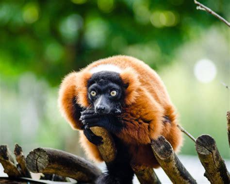 red ruffed lemur facts diet habitat pictures
