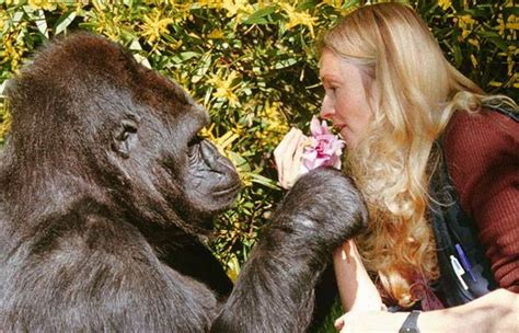 gorilla   surprisingly human reaction