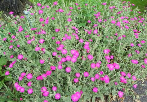plants that come back every year 28 best which flowers come back every year the rusted vegetable garden summers flowers that