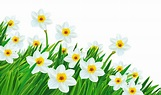 Green daffodil clipart 20 free Cliparts | Download images ...