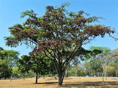 jacaranda da bahia dalbergia nigra dalbergia nigra