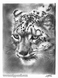 Snow Leopard Pencil Drawing Dandy Drawings Pinterest