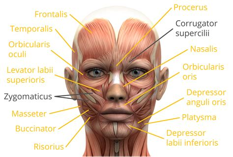 There are around 650 skeletal muscles within the typical human body. facial muscle - Liberal Dictionary