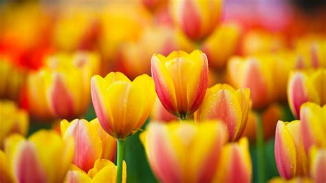Tulip Image Desktop by Tulip Wallpapers 183 Wallpapertag