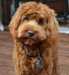 Large Dogs That Dont Shed Much by 25 Best Ideas About Australian Labradoodle On Pinterest