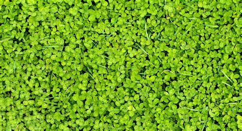 Clover Background Clover Background Free Stock Photo Domain Pictures